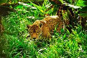 Jaguar in the amazon jungle