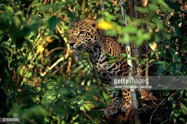 Jaguar (Panthera onca) in the jungle