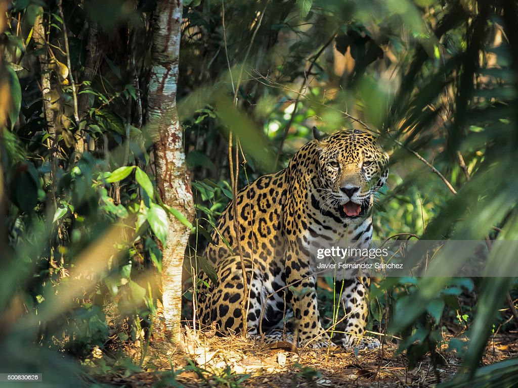A jaguar (Panthera onca) in the jungles of Central America. : Stock Photo