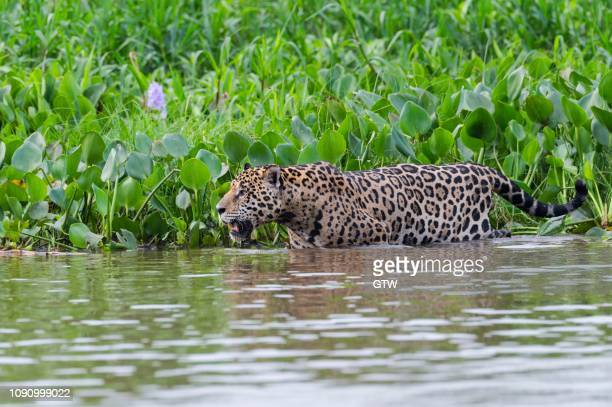 jaguar (panthera onca) in the water, cuiaba river, pantanal, mato grosso, brazil - cuiaba river stock pictures, royalty-free photos & images