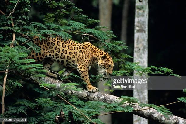 jaguar (panthera onca) in tree - jaguar stock photos and pictures