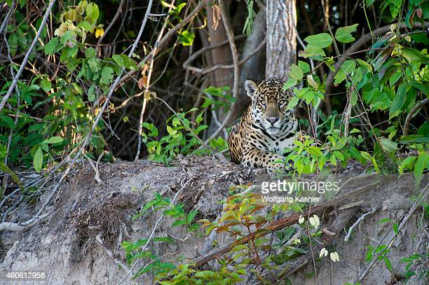 Jaguar is laying on a river bank at one of the tributaries of the Cuiaba River near Porto Jofre in the northern Pantanal, Mato Grosso province in...