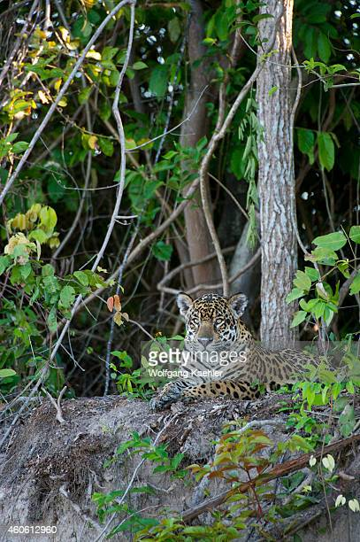 Jaguar is laying on a river bank at one of the tributaries of the Cuiaba River near Porto Jofre in the northern Pantanal Mato Grosso province in...