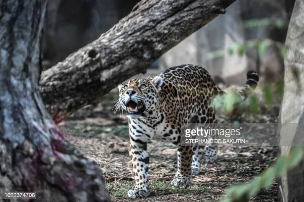 A jaguar is pictured is seen on August 24 2018 at Paris' zoological gardens also known as the Zoo de Vincennes