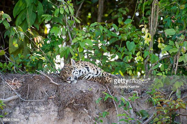 Jaguar is sleeping on a river bank at one of the tributaries of the Cuiaba River near Porto Jofre in the northern Pantanal, Mato Grosso province in...