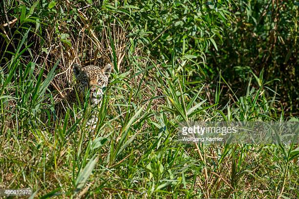Jaguar is stalking through high grass on a river bank at one of the tributaries of the Cuiaba River near Porto Jofre in the northern Pantanal, Mato...