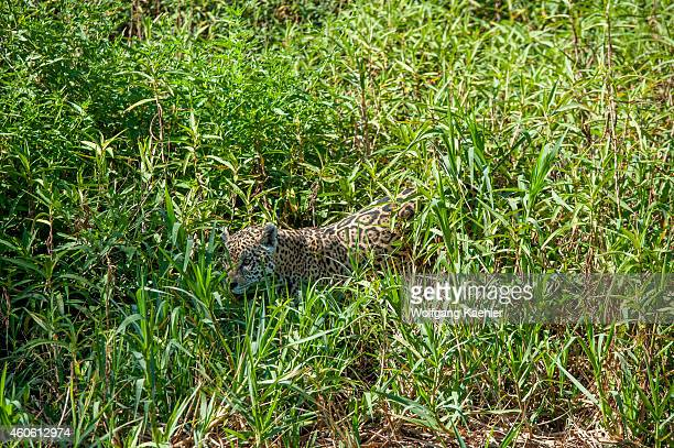 Jaguar is stalking through high grass on a river bank at one of the tributaries of the Cuiaba River near Porto Jofre in the northern Pantanal Mato...