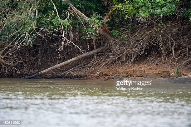 Jaguar is swimming in one of the tributaries of the Cuiaba River near Porto Jofre in the northern Pantanal Mato Grosso province in Brazil