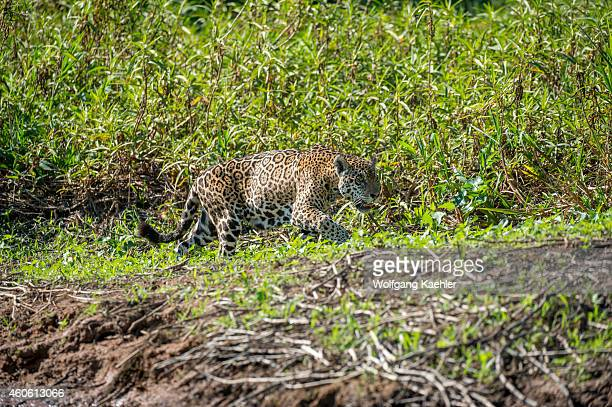 Jaguar is walking along a river bank at one of the tributaries of the Cuiaba River near Porto Jofre in the northern Pantanal, Mato Grosso province in...
