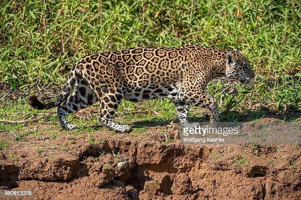 Jaguar is walking along a river bank at one of the tributaries of the Cuiaba River near Porto Jofre in the northern Pantanal Mato Grosso province in...
