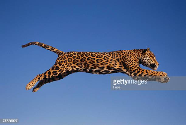 jaguar jumping through sky - jaguar stock photos and pictures