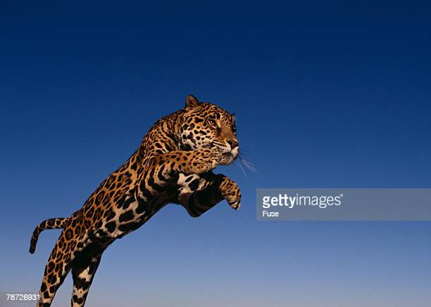 Jaguar Jumping Through Sky