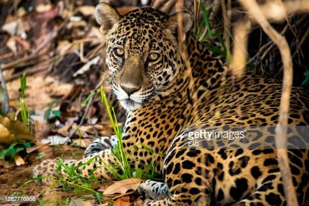 jaguar grande gato (panthera onca) - onça-pintada - fotografias e filmes do acervo