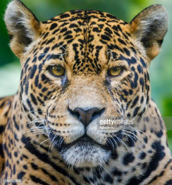 jaguar looking at camera - pantanal wetlands, brazil - animal head stock pictures, royalty-free photos & images