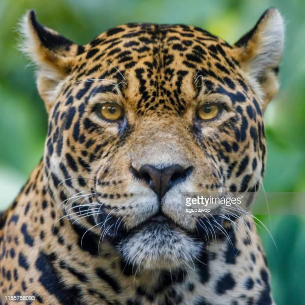 jaguar looking at camera - pantanal wetlands, brazil - big cat stock pictures, royalty-free photos & images