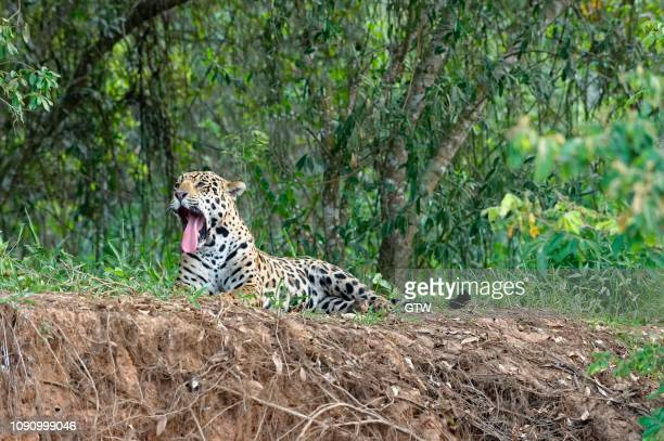 jaguar (panthera onca) lying on a river bank and yawning, cuiaba river, pantanal, mato grosso, brazil - cuiaba river stock pictures, royalty-free photos & images