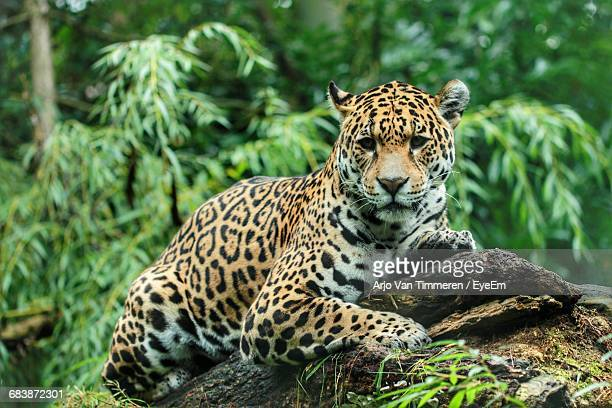 jaguar lying on wood in forest - jaguar stock photos and pictures
