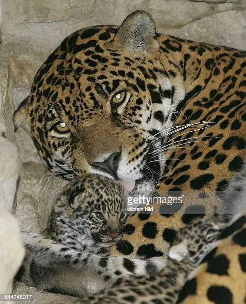 Jaguar mit Jungtier im Zoo
