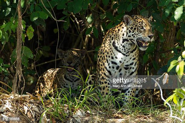 jaguar mother and cub on the bank of the cuiaba river in brazil - jaguar stock photos and pictures