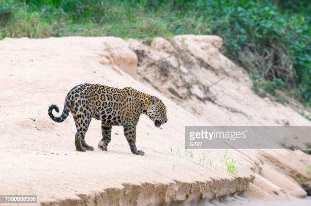 jaguar (panthera onca) on a sandbank, cuiaba river, pantanal, mato grosso, brazil - cuiaba river stock pictures, royalty-free photos & images