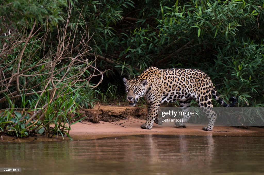 Jaguar (Panthera onca) on Cuiaba riverbank, Pantanal, Mato Grosso, Brazil : Stock Photo