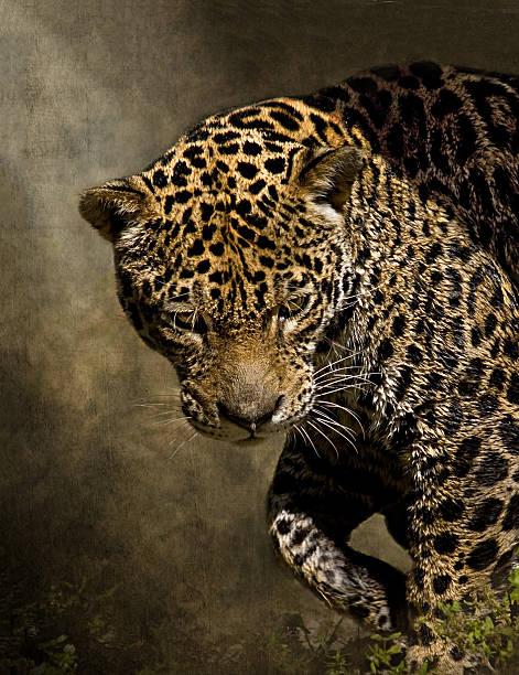 Jaguar on Prowl hunting with intent gaze