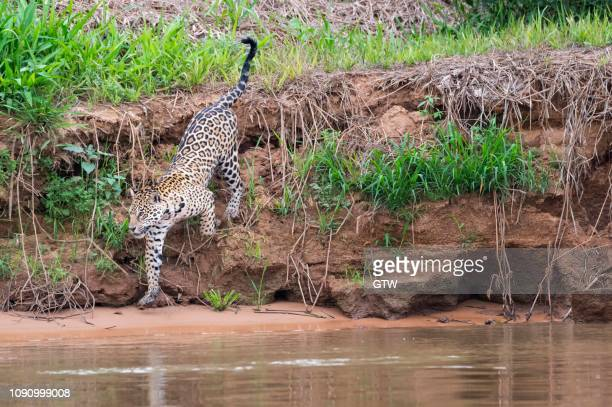 jaguar (panthera onca) on the shore, cuiaba river, pantanal, mato grosso, brazil - cuiaba river stock pictures, royalty-free photos & images