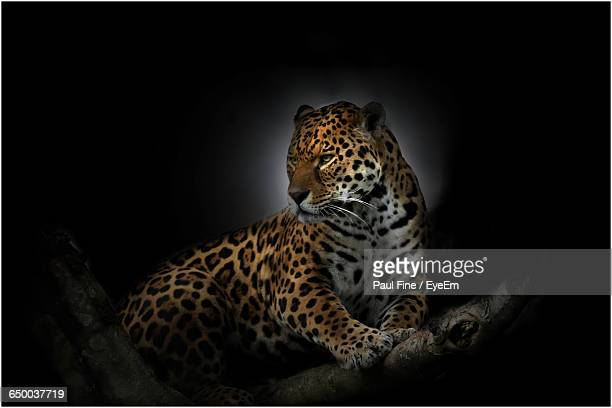 Jaguar On Tree At Night