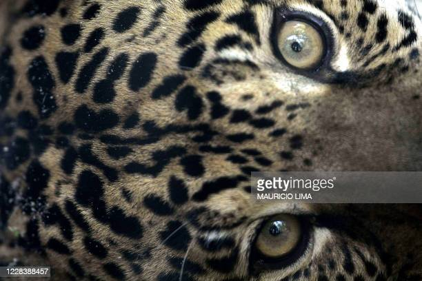 Jaguar', one of an endangered native species of Amazonian fauna, lies at a natural reserve certified by the Brazilian Institute for the Environment...