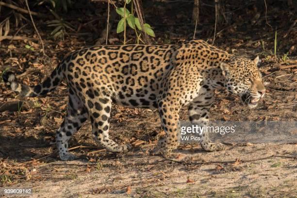 Jaguar Pantanal, Brazil.