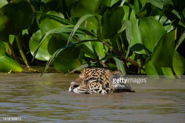 Jaguar , Pantanal, Mato Grosso, Brazil..