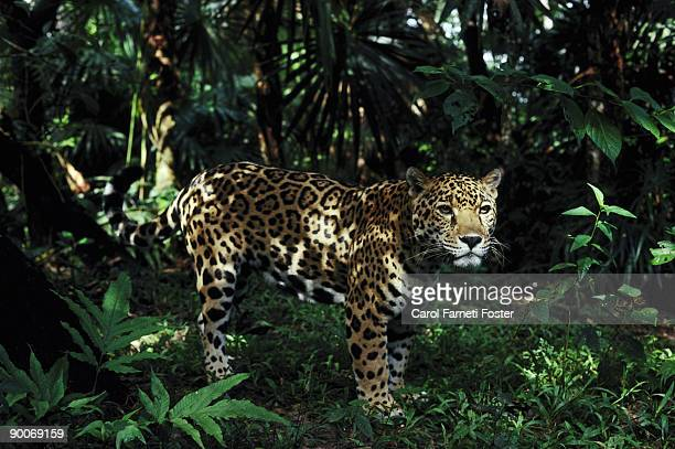 jaguar panthera onca belize central america