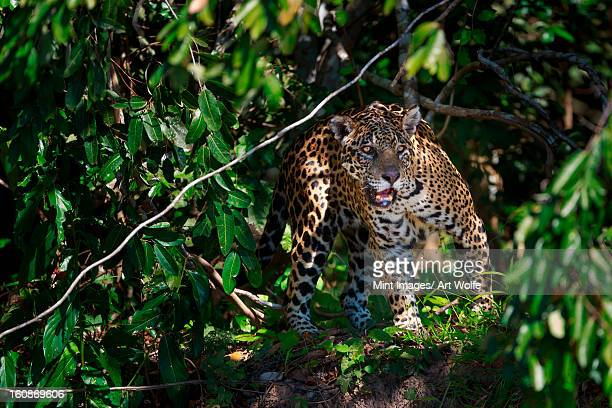 jaguar, panthera onca, brazil - jaguar stock photos and pictures