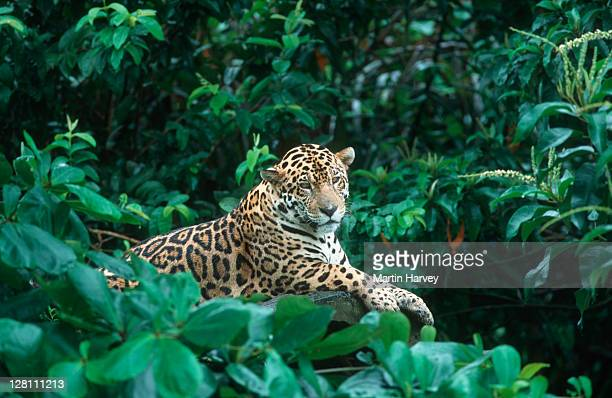 jaguar, panthera onca, near threatened species. native to central & south america - jaguar stock pictures, royalty-free photos & images