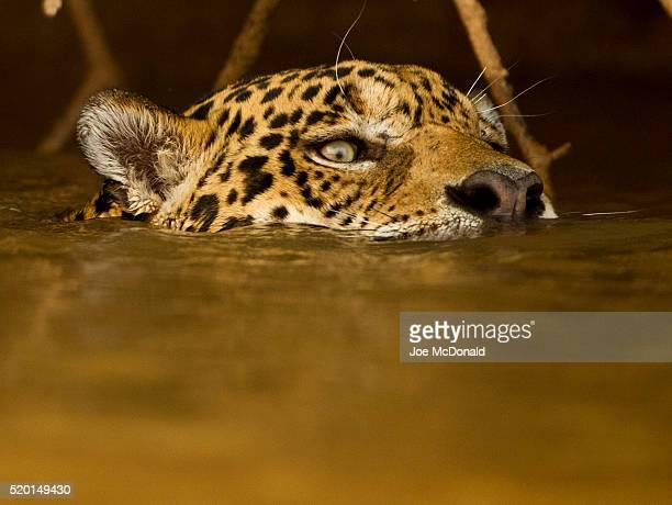 jaguar, panthera onca, swimming in river, pantanal, brazil, south america - onça-pintada - fotografias e filmes do acervo