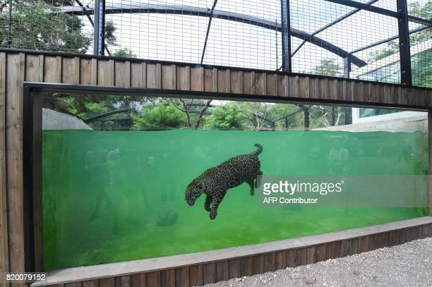 A jaguar Panthera onca swims in its enclosure at Pessac Zoo on the outskirts of Bordeaux on July 20 2017 Two jaguars 'Catalina' and 'Mato' two and...