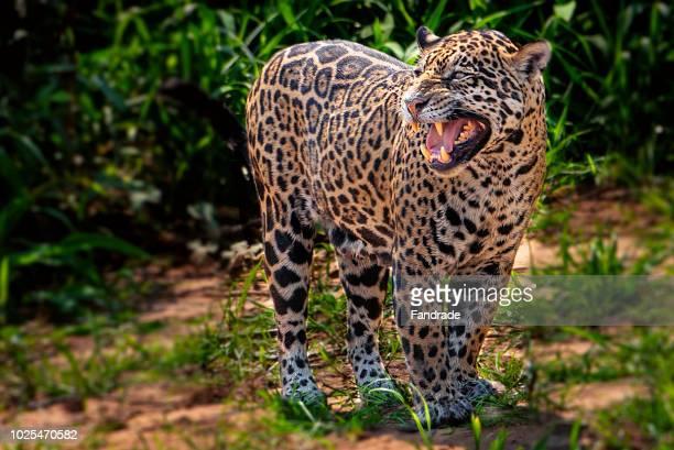 jaguar - jaguar stock pictures, royalty-free photos & images