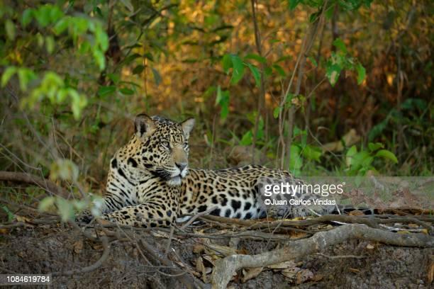 jaguar (pantera onca) - jaguar stock pictures, royalty-free photos & images