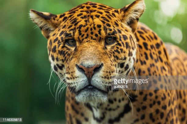 jaguar - animals in the wild stock pictures, royalty-free photos & images
