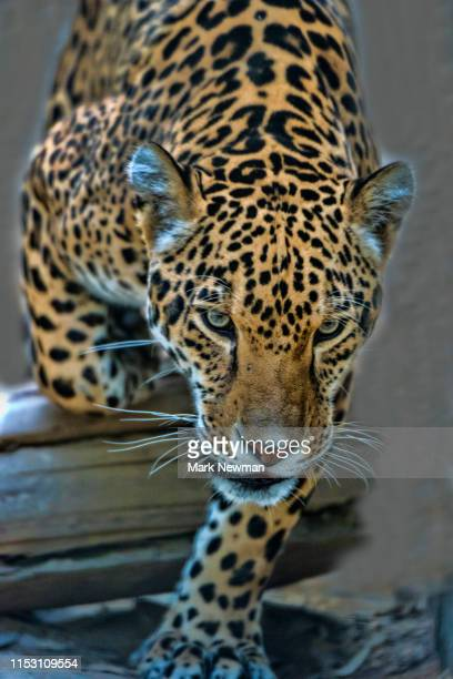 jaguar - carnivora stock pictures, royalty-free photos & images