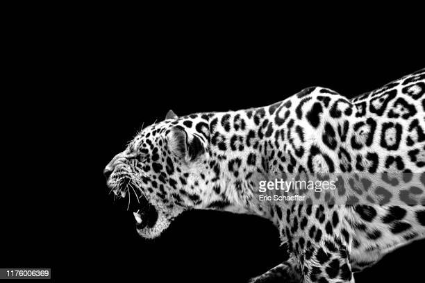 jaguar - wildlife stock pictures, royalty-free photos & images