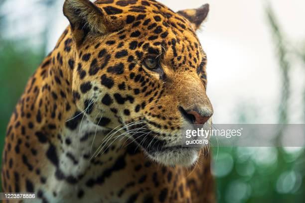 jaguar - onça-pintada - fotografias e filmes do acervo