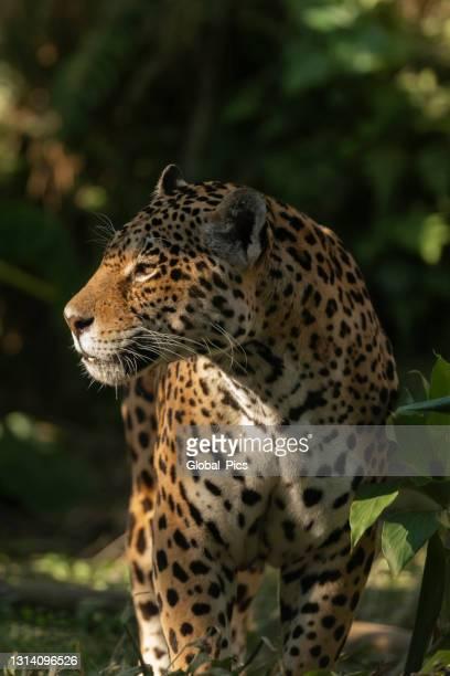 jaguar (onça pintada) - onça-pintada - fotografias e filmes do acervo