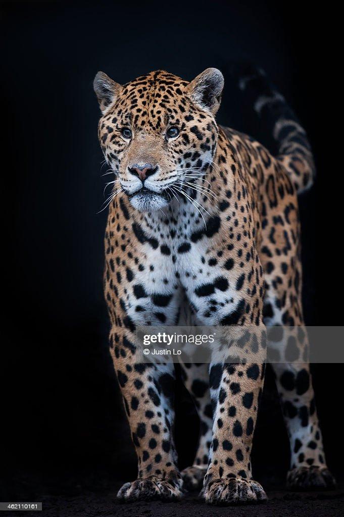 Jaguar : Stock Photo