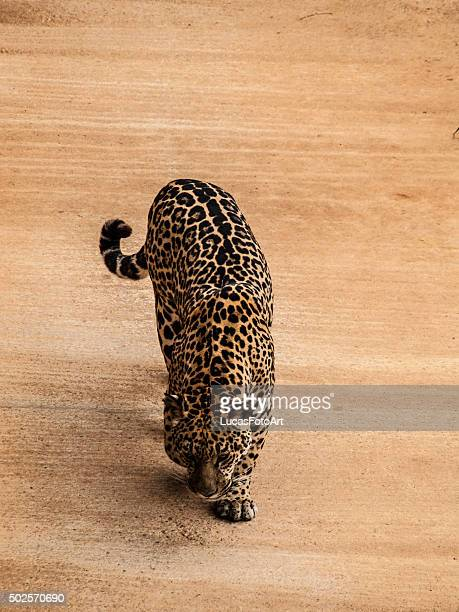 jaguar - mottled skin stock pictures, royalty-free photos & images