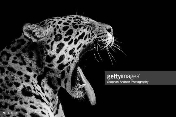 jaguar - jaguar stock photos and pictures