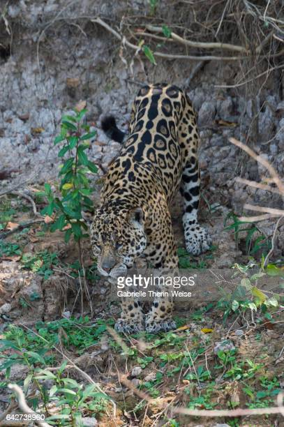 jaguar - cuiaba river stock pictures, royalty-free photos & images