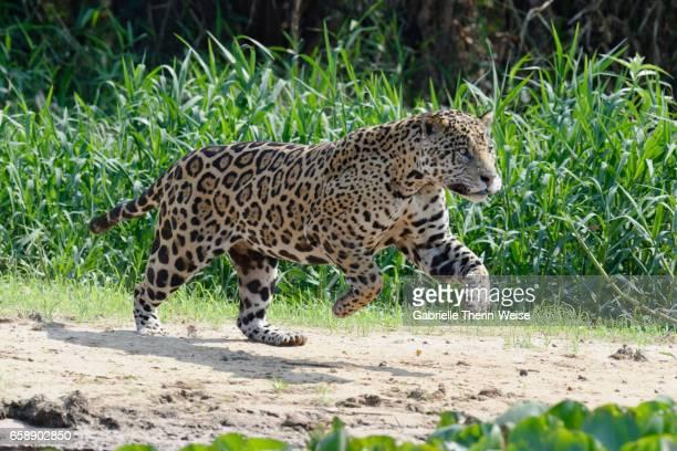 jaguar - pantanal wetlands stock photos and pictures