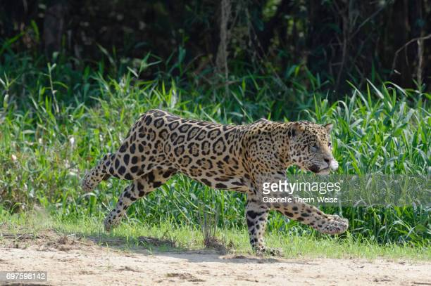 jaguar - cuiaba river stock photos and pictures