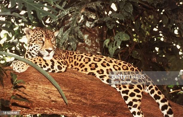 Jaguar Reise Dangriga/Belize/Mittelamerika Nationalpark Cockscomb JaguarPark Felsen ausruhen